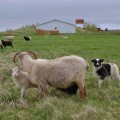 The sheep near our guesthouse